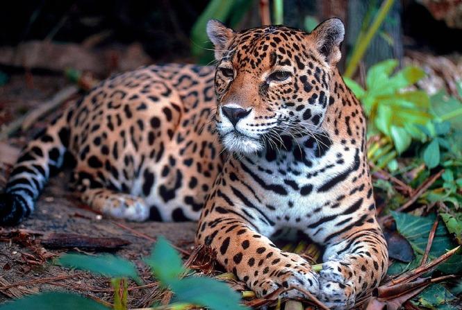 jaguar-1377982_960_720
